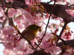桜にメジロ③