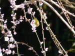 梅の枝にメジロ