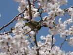 伊左地緑地の桜にもメジロが・・・・・
