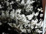 ソメイヨシノ100本が山の斜面に咲き誇る城山公園