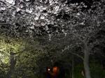 都田川河川敷、曳舟橋付近の桜の様子です