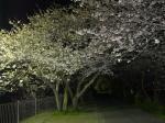 浜松市北区役所横の道を入って行った所の桜の様子です。
