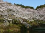 池のほとりの桜です