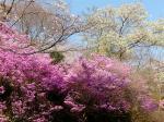 奥山公園の山の斜面ではつつじも咲いてたりします