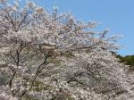 5分咲きとはいえ綺麗な桜です。夜桜を見るのもいいですよ~。