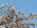 青空だと桜が映えますね・・・