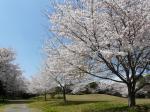 青空だと桜が映えますね~。う~ん、平日にお花見したい・・・