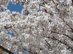 強風がちょっと満開の桜に可哀想かも?