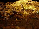 夜桜とメグちゃんです