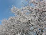 そよ風に吹かれて舞い散る桜の花びらが何とも綺麗な都田川河川敷の桜