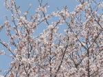 今年の姫様道中は桜が舞い散る中での行列でした