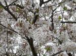 キャンプ場敷地内で一番桜が残っていた木にて・・・