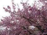 3月11日の根本山の桜です