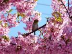 根本山観光倉田園の駐車場の早咲き桜2008年3月15日②