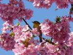 根本山観光倉田園の駐車場の早咲き桜2008年3月15日③