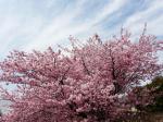 色鮮やかに咲き誇ってます!根本山の桜