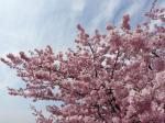 満開!根本山の早咲きの桜①