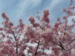 根本山の桜が青空に映えます