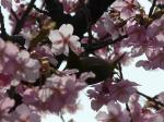 桜とメジロ・・・いいですね~