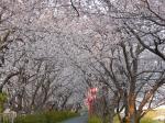 都田川桜堤。この道を姫様道中の行列が通ってきます。