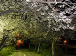 都田川桜堤の桜 4月3日夜
