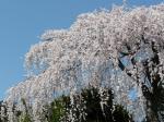 しだれ桜が青空に映えます
