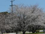 浜松市中区西丘町の花川運動公園の桜の様子