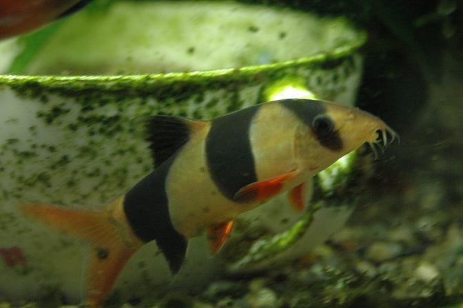 今年一番輝いた魚!クラウンローチのチャッピーです!
