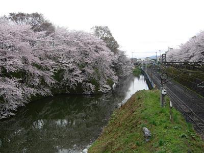 かじょう公園桜
