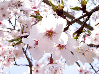 cherry blossoms3