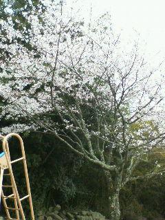 桜といえば森山直太郎?
