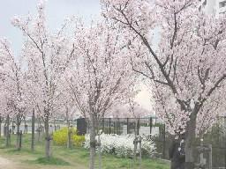 桜と連翹と雪柳