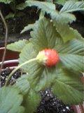 幸せの苺?