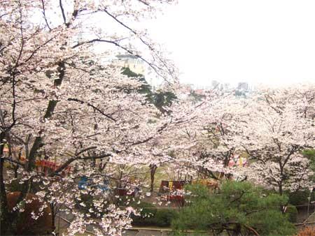 ohanami-sakura-.jpg