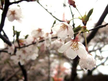 ohanami-sakura3.jpg