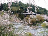 長谷寺の桜 9