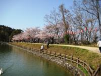 08年滝の宮の桜1