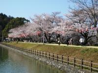 08年滝の宮の桜2