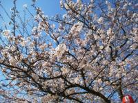 08年滝の宮の桜3