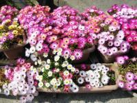 荷内の花畑4