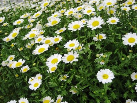 ご近所の花1
