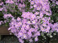 ご近所の花2