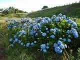 狭山湖畔の紫陽花
