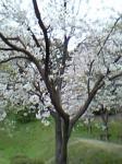 桜 鹿部山