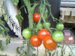 トマト使用中