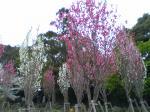 宮地岳神社ほうき桃