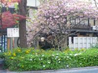 つつじの花と八重桜