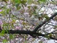 八重桜。綺麗です。