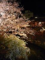 京都 祇園・白川の夜桜