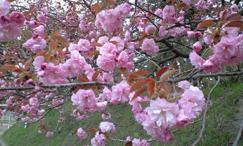 辛うじて咲いていた桜(その1)
